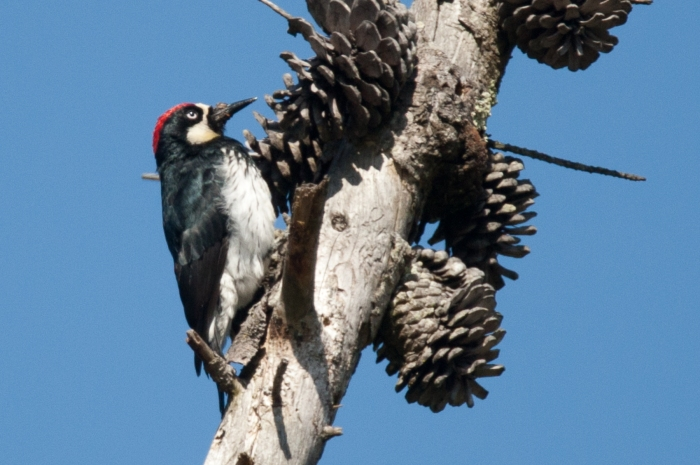 Acorn Woodpecker. Photo Credit: Bob Lewis, www.wingbeats.org