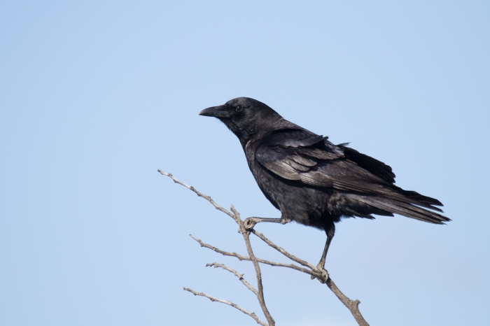 American Crow. Photo Credit: Bob Lewis, wingbeats.org