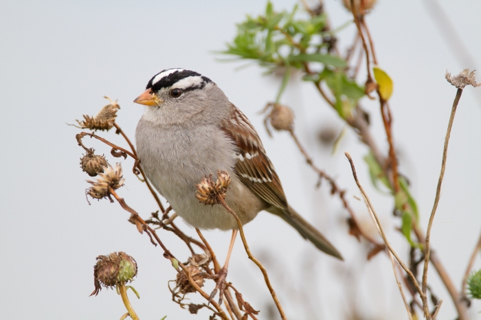 White Crowned Sparrow. Photo Credit: Bob Lewis, wingbeats.org