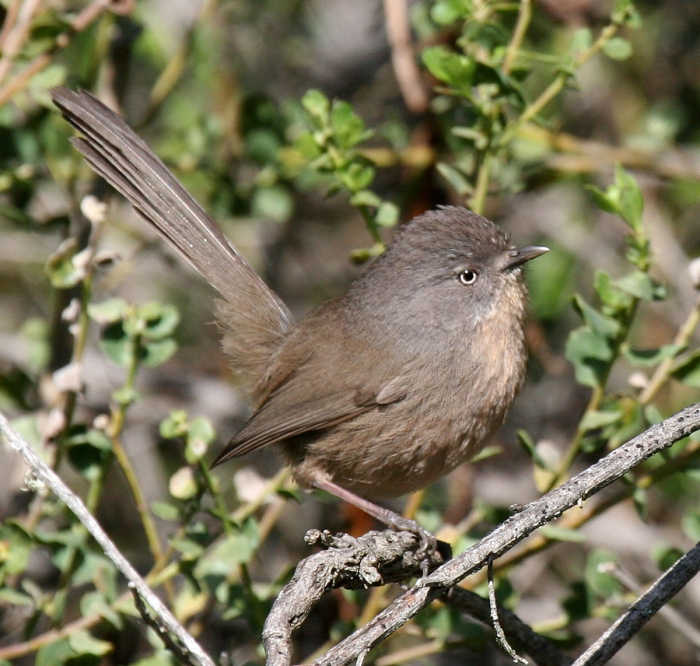 Wrentit. Photo Credit: Bob Lewis, wingbeats.org