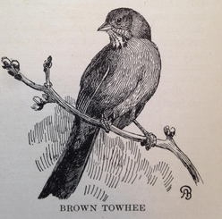 """An illustration of a Brown Towhee from Hoffman's """"Birds of the Pacific States"""""""