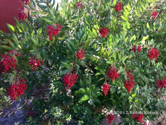 Toyon in fruit