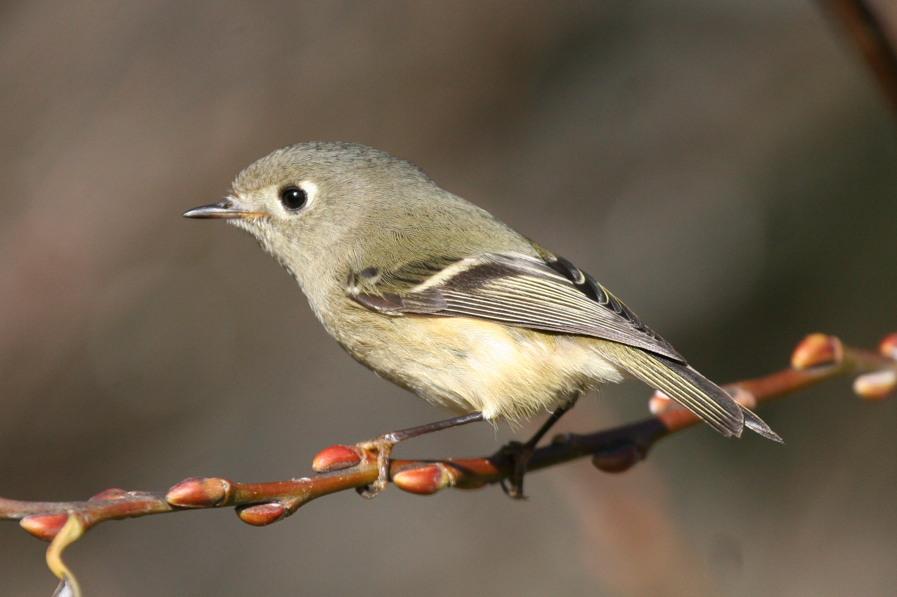 ruby-crowned-kinglet-042