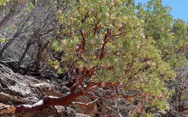 sierra juniper