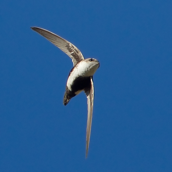 White-throated Swift-
